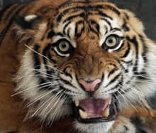 Tiger parts, elephant ivory, rhino horn and exotic birds and reptiles are among the most trafficked items in the illegal wildlife trade, which experts estimate is worth $16 billion to $27 billion US a year. Here, an injured Sumatran tiger is seen in Banda Aceh, Indonesia.