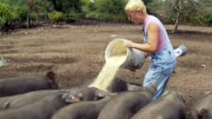 Barb Schaefer's Upper Canada Heritage Meat farm is home to one of the largest herds of Large Black pigs.