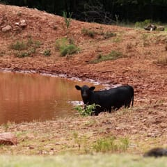 A cow seeks out water in a drought stricken pond near Paoli, Okla.