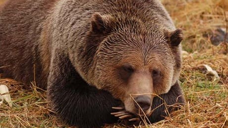 Bear hunting ban declared by 10 B.C. First Nations