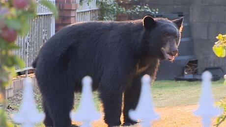 Bear wandering in Metro Vancouver finally caught