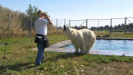 Pet polar bear a B.C. man's swim partner