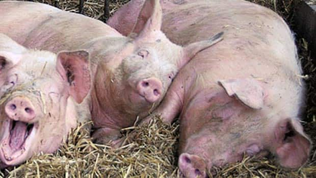 Bacon and other pork products will cost more as feed costs increase.