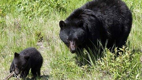 5 bears moved, 1 killed in B.C. community