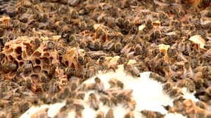Fruit producers in Nova Scotia have said they need more bees to pollinate their crops.