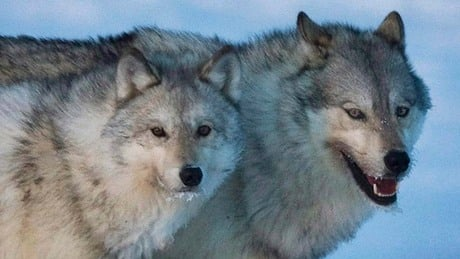 B.C. considering wolf culls in new management plan