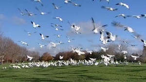 Snow geese favour parks, lawns and famers fields as feeding grounds.
