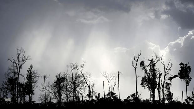 Remains of a virgin Amazon rainforest are seen after it was cleared for its wood in Brazil. The study says old trees are dying due to several factors, such as logging, fires and extreme weather caused by climate change.