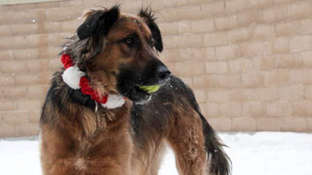 Winnipeg Animal Services Dog Adoption