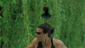 Joggers along the Rideau Canal had to keep one eye on an aggressive blackbird.