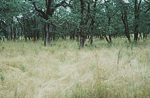 In areas where fire has been supressed for decades, the savanna is dominated by exotic grasses.