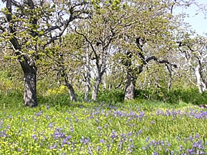 Before European settlement, the oak savanna ecosystem was densely populated by native plants such as the purple camas lily and yellow western buttercup.