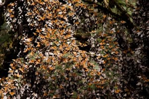 It takes one generation of monarch butterflies to complete the migration to Mexico but three more generations to make it all the way to Canada.