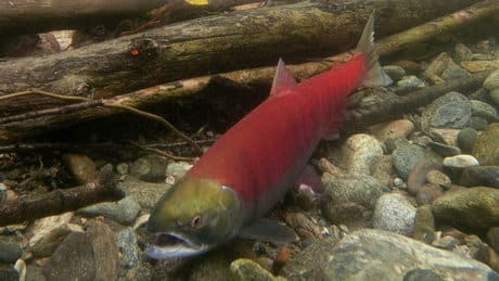 P.E.I. lab criticized over B.C. fish finding