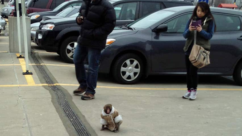 Darwin the monkey was caught by Toronto Animal Services after the animal was found wandering around an Ikea parking lot last year.