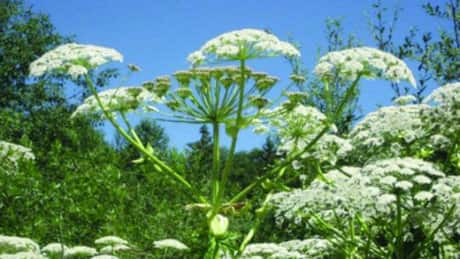 Invasive giant hogweed starting to bloom in B.C.