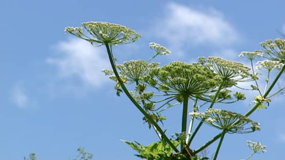 The Nova Scotia government is tracking the giant hogweed on its website. The huge plant's sap can produce painful blisters and even blindness.