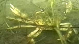 DFO has captured and destroyed tens of thousands of green crabs in P.E.I. in the last two years.