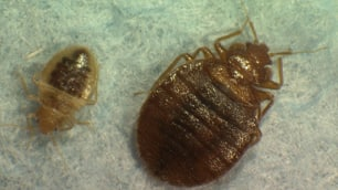 Bedbugs infestations have become common around the Metro Vancouver area in recent years.