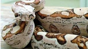 Gjarpërinjtë Boa-constrictor-101103-02