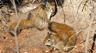 Squirrel mating chase