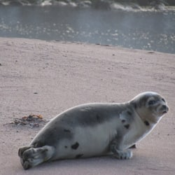 A young seal on a beach near the southern Labrador community of L'Anse au Clair in early January.