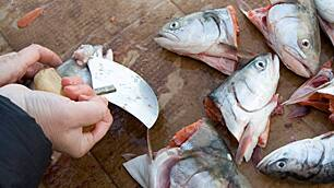 A traditional Inuit cutting tool known as an ulu is used to remove the eyes from Arctic char in this 2009 photo from Iqaluit. Canada reported no catches of fish from Arctic waters to the UN between 1950 and 2006.