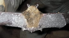 A bat found in New Brunswick killed by white-nose syndrome. Specks of white fungus can be seen on the animal's wings and ears.
