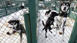 Sled dogs rest at a kennel operated by Outdoor Adventures near Whistler, B.C., on Feb. 5, 2011. Dozens of dogs were put down after the 2010 Olympics but it was only discovered months later.