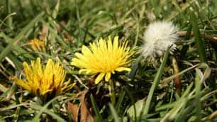 Pesticides used to battle lawn weeds have been banned in several eastern provinces. Manitoba is considering how it will deal with the controversial issue.