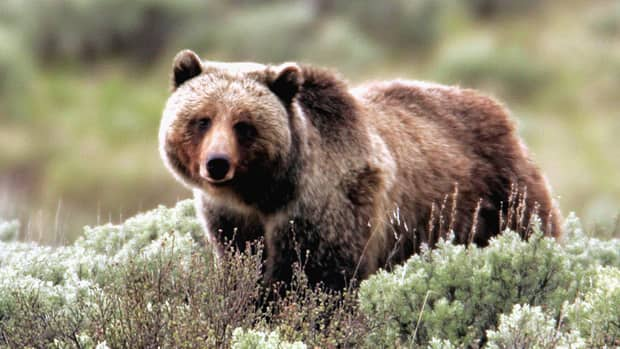 A grizzly bear moves through the brush at Yellowstone Park in Wyoming in this file photo. A grizzly mauled a man to death in the park Wednesday, the first such death in the park in a quarter century.