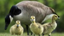 http://www.cbc.ca/gfx/images/news/topstories/2011/07/13/si-canada-goose-852.jpg