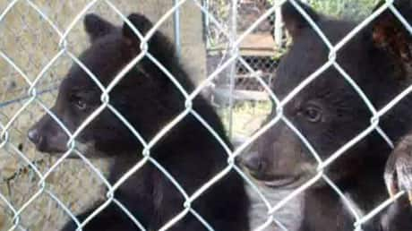 A black bear cub behind a chain link fence, looking to the left