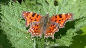 The comma butterfly in Britain has moved more than 217 kilometres in 21 years.