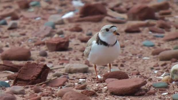 Piping plovers have been protected on P.E.I. for years.