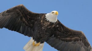 Bald eagles mate for life and generally return to the same group of nests year after year.