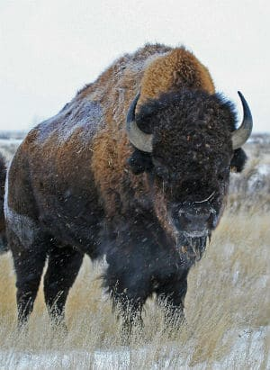 Bison in Canada's Elk Island National Park.