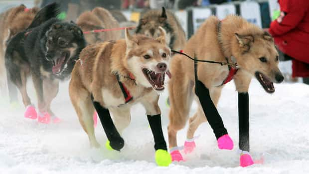 Jake Berkowitz's dog team races in last year's Yukon Quest. He was fourth to the finish line in Whitehorse in 2012.