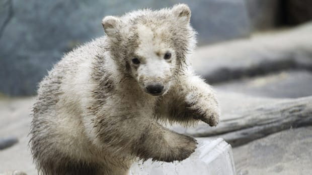 The name 'Hudson' has been chosen for a Toronto Zoo polar bear cub following a Name the Cub contest.