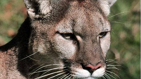 Cougar spotted in West Vancouver