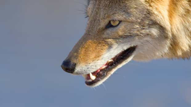 Four coyotes have been trapped and killed in the New Waterford area in the last 10 days.