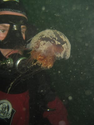 Jellyfish could be indicators that humans are degrading the ecosystem, said Lucas Brotz, shown diving with a lion's mane jellyfish in Indian Arm, B.C.