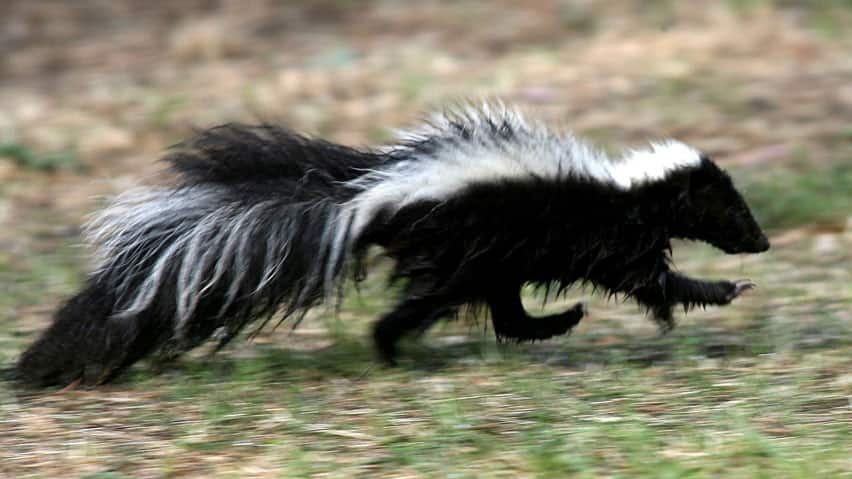 FEATURE Top 10 nuisance animals Skunks, coyotes galore in Saskatoon