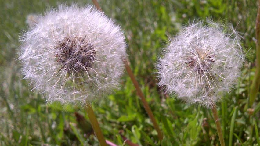Many people use chemicals to kill dandelions on their lawns. A city committee says people should be encouraged not to use cosmetic pesticides, but there shouldn't be an all-out ban.