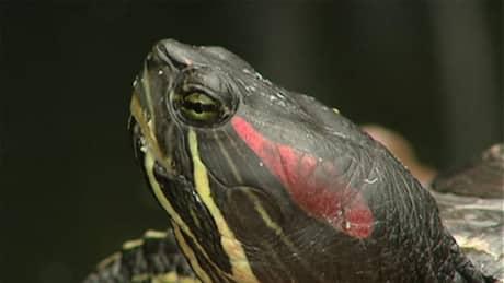 Red eared slider turtles eating