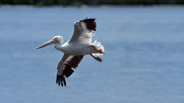 Anglers in northwestern Ontario worry the American White Pelican — designated a species-at-risk by the Ministry of Natural Resources — will gobble up sport fish in the area's popular lakes.