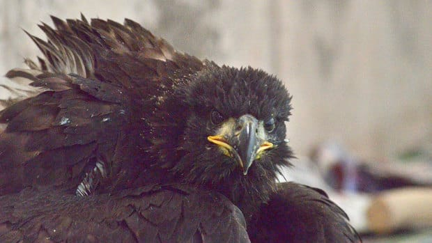 The eaglet was not in good condition when it arrived at the Atlantic Veterinary College.