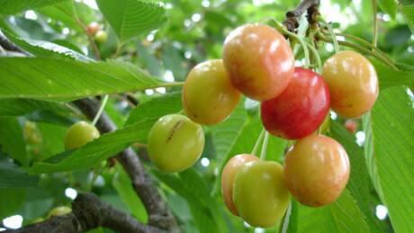 Severe storms strike Okanagan fruit crops