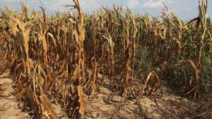 Corn plants struggle to survive on drought-stricken land in Henderson, Kentucky, July 24, 2012. Just 26 per cent of the U.S. corn crop is still in good to excellent condition.
