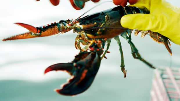 Some scientists think lobsters can live to be 100 years old. A recently discovered technique will finally enable them to test that.